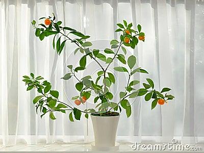 Árbol de mandarines con la fruta madura en la repisa de la ventana