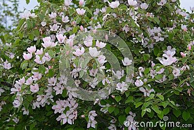 Rbol de membrillo floreciente en jard n foto de archivo - Arbol de membrillo ...