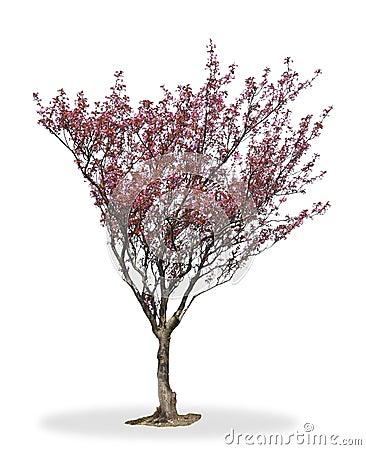 Árbol del flor de cereza