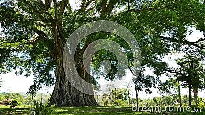 Árbol gigante de Balete del Banyan almacen de video