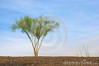 Árbol solitario de Palo Verde