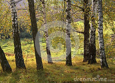 Árboles de abedul