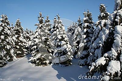 Rboles de hoja perenne nevado imagenes de archivo for Arboles de hoja perenne en madrid