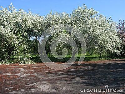 Árboles florecientes