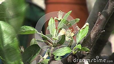 Árboles frutales florecientes en Marine Park de Bourgas en Bulgaria almacen de video