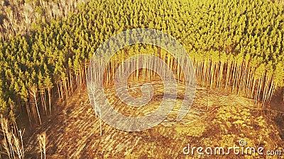 Área de desflorestação de pinhais verdes Visão superior da floresta em crescimento perto de terras vazias Natureza europeia video estoque