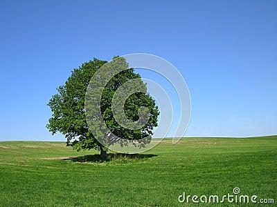 A árvore de carvalho