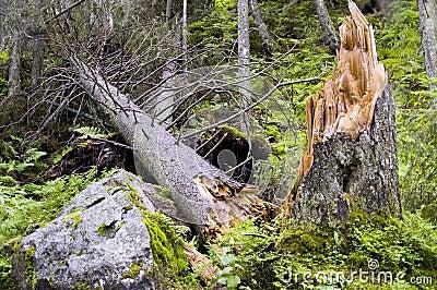 árvore Destruída