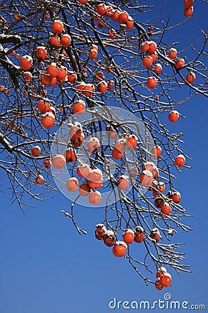 Árvore do caqui no inverno