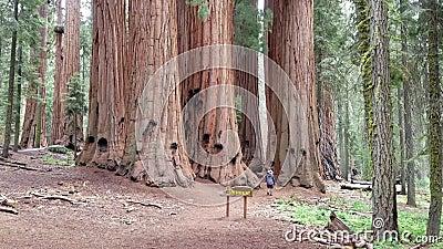Árvore gigante sequoia na Califórnia, EUA video estoque