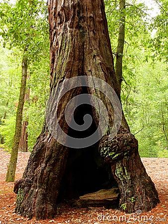 Árvore oca