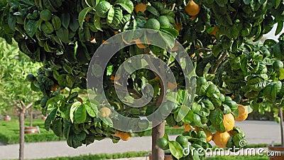 Árvore verde em que cresça os mandarino alaranjados contra um fundo de um bosque das árvores de citrino que estão em grande de ma filme