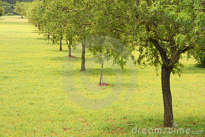 Árvores de amêndoa