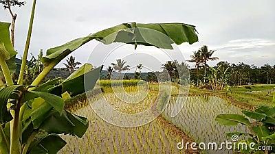 Árvores de banana fundidas pelas folhas vídeos de arquivo