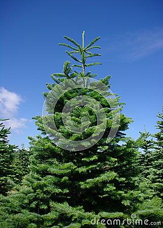 Árvores de pinho