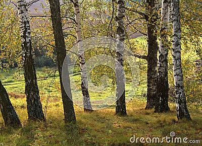 Árvores de vidoeiro