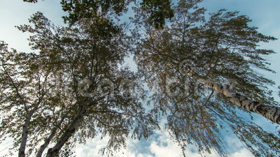 Árvores de vidoeiro vídeos de arquivo