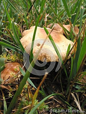 sauvage 1 de champignon de couche
