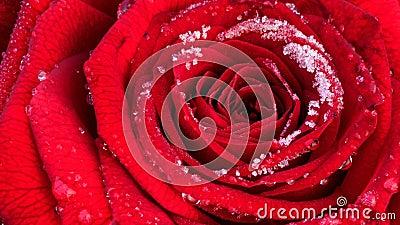 与树冰,timelapse英尺长度的开花的红色玫瑰