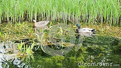 Änder på dammet med reflexioner på vatten och höstligt sväva för sidor lager videofilmer