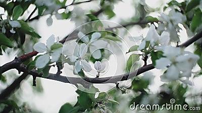 Äppelkvistar med blommor och en knopp lager videofilmer