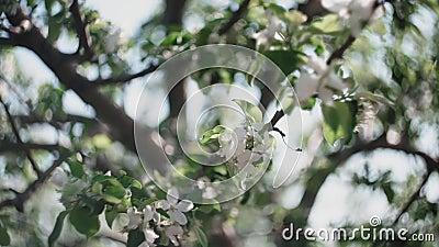 Äppelkvistar med blommor och en knopp arkivfilmer
