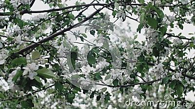Äppelträd blommar vitblommor som blåser i vind under våren, nära stock video