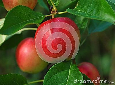 äpplered