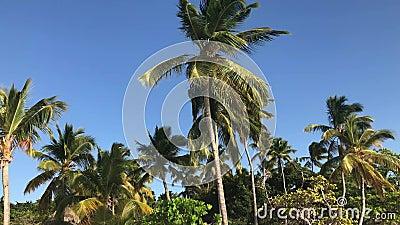 在风的棕榈树 股票录像
