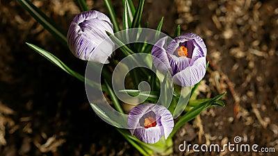 打开的番红花Timelapse  春天和夏天花快动作