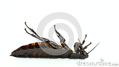 Één kakkerlak ligt op zijn rug Witte achtergrond Zachte nadruk Langzame Motie stock footage