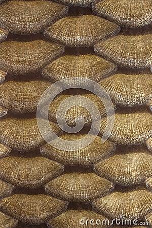 Échelles de carpe