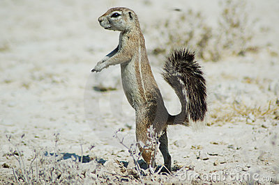 Écureuil au sol dans Etosha