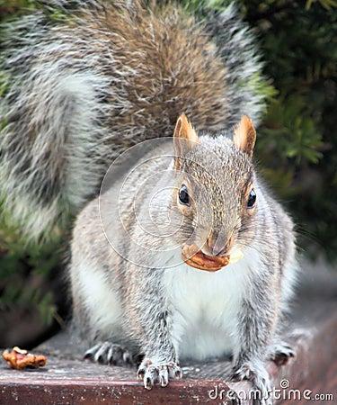 Les noix -eacutecureuil-avec-une-noix-thumb7582355