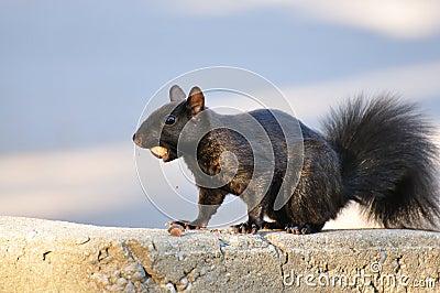 Message de l'Écureuil  dans ECUREUIL -eacutecureuil-noir-avec-le-gland-thumb6829405