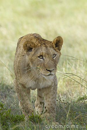 Égrappage D'animal De Lion Photo libre de droits - Image: 18444345