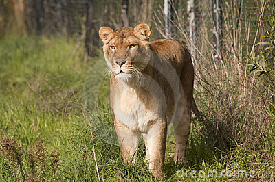 Égrappage de lionne