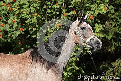 Égua árabe agradável com cabeçada da mostra