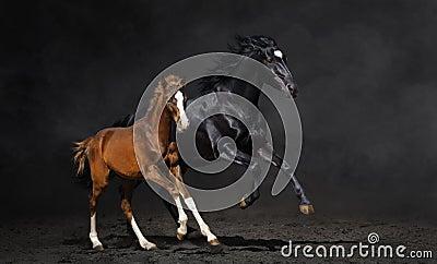 Égua preta e seu potro da baía