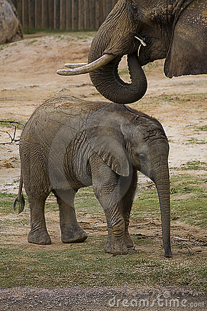 éléphant de chéri