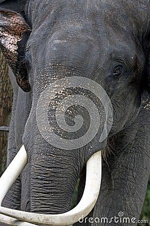éléphant furieux