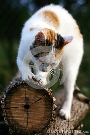 Éraflure de chat