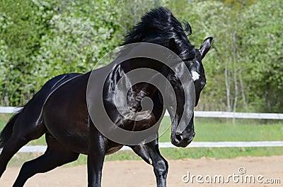 Étalon noir de la race russe d équitation dans le mouvement