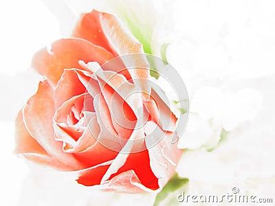 Étude de Rose