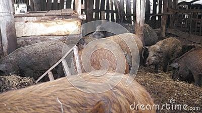 Άγριοι κάπροι στο ζωικό αγρόκτημα Μεγάλο θηλυκό άγριων κάπρων απόθεμα βίντεο