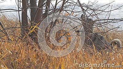 Η δύση η σιβηρική Λάικα εξετάζει επάνω το δέντρο απόθεμα βίντεο