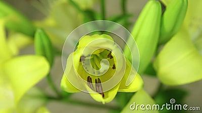 Κίτρινη άνθιση λουλουδιών κρίνων, που ανοίγει το άνθος του Επικό χρονικό σφάλμα Θαυμάσια φύση φουτουριστικός κόσμος απόθεμα βίντεο