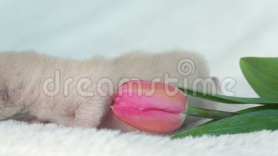 Μπεζ βιρμανός γατάκι με μια ρόδινη τουλίπα απόθεμα βίντεο