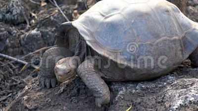 Île Seymore, Galapagos, Equateur - 2019-06-20 - Une tortue adulte baisse la tête clips vidéos