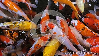 Σίτιση των ζωηρόχρωμων φανταχτερών ψαριών κυπρίνων της συσσώρευσης κυπρίνων Koi που ανταγωνίζεται για τα τρόφιμα στη λίμνη, πλήρε απόθεμα βίντεο